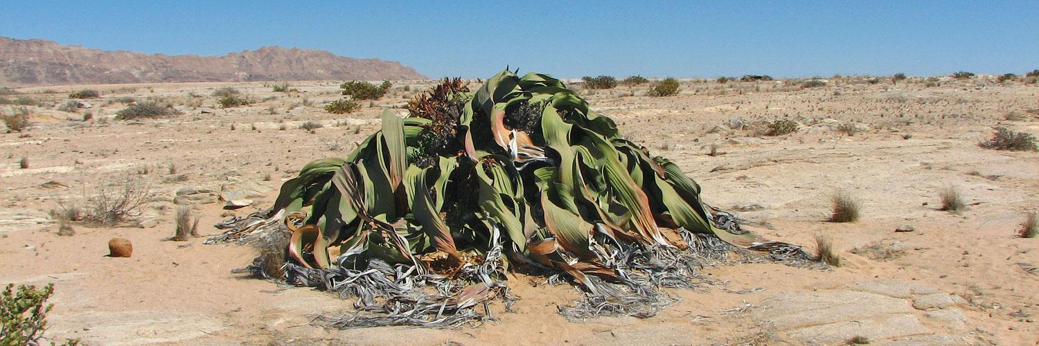 Rental Car Places >> Welwitschia Mirabilis - Centuries old desert plant