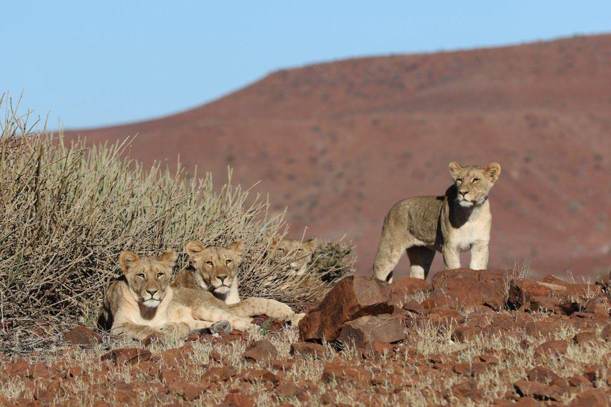 Die seltenen Wüstenlöwen des Damaralandes