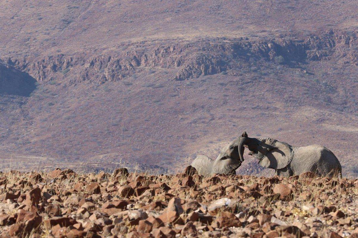 Wüstenelefanten