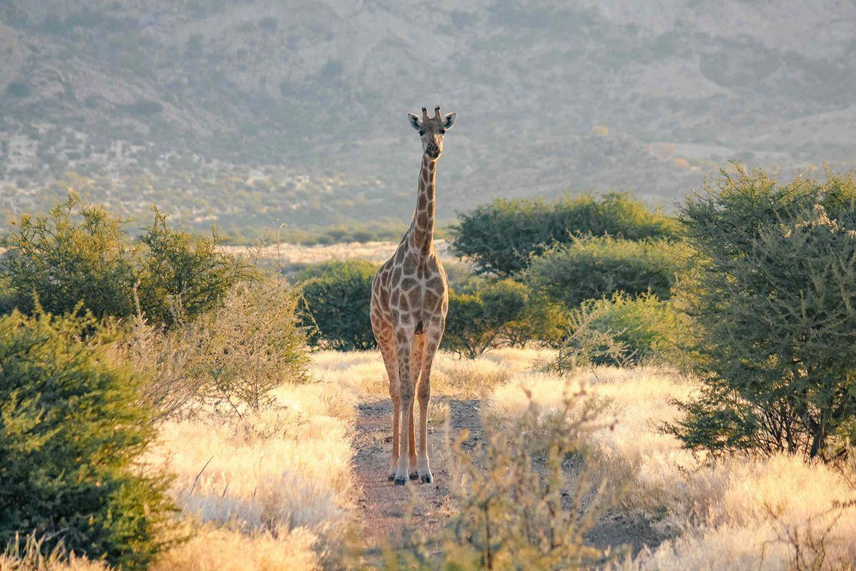 Giraffe in the Erongo
