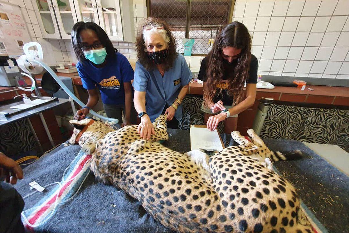 Cheetah-Forschung und Tierarzt