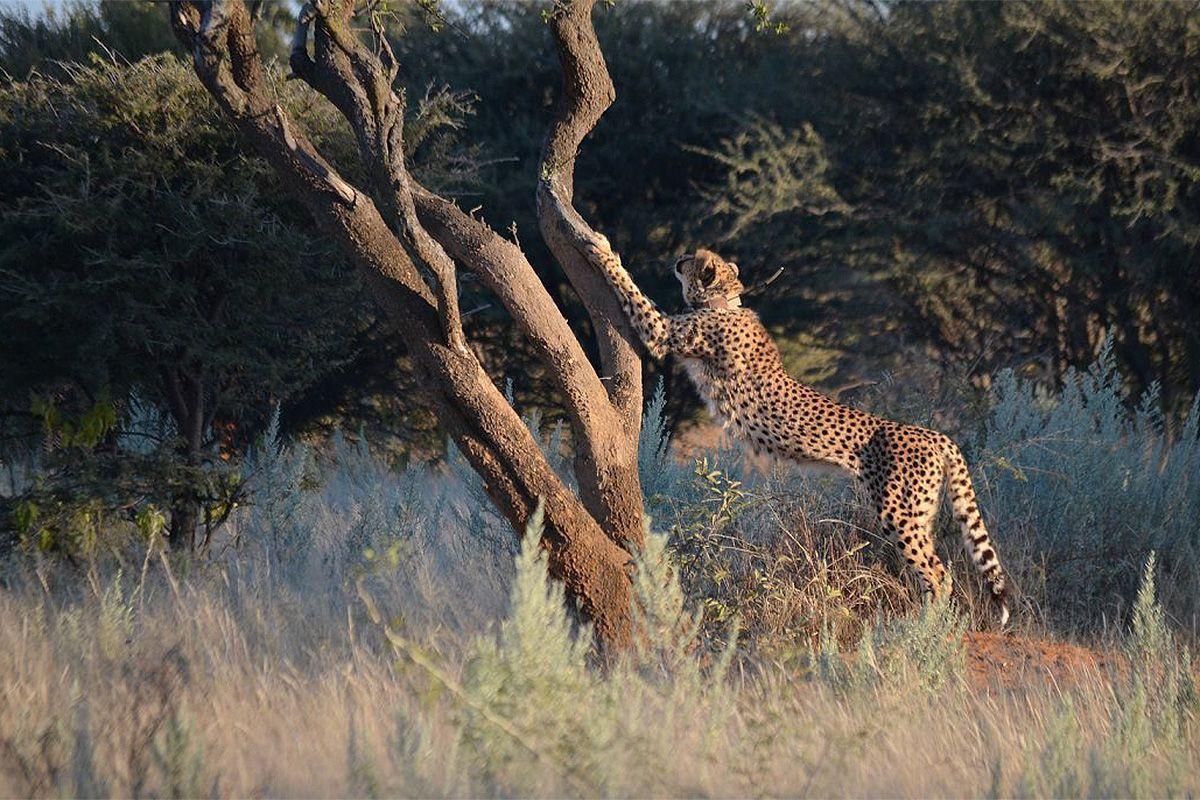 Gepard mit Sender