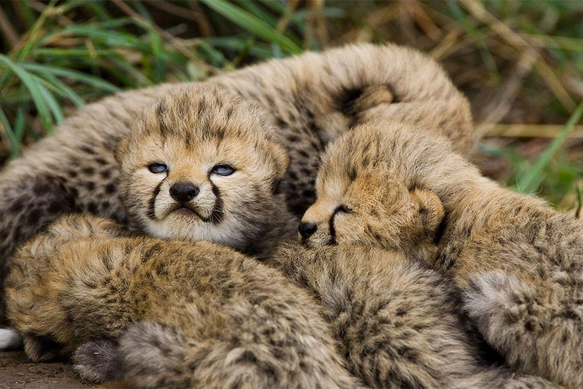 Cheetah offspring