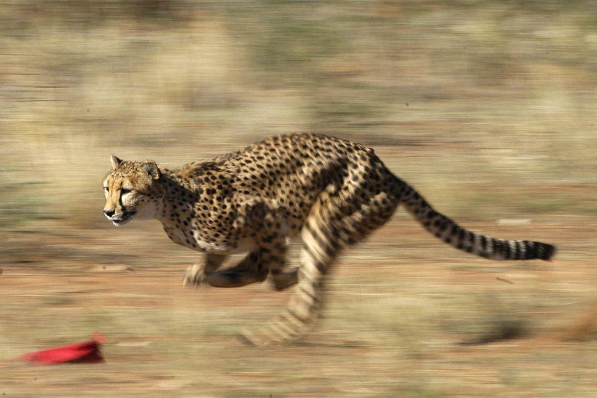 Cheetah hunts the prepared bait