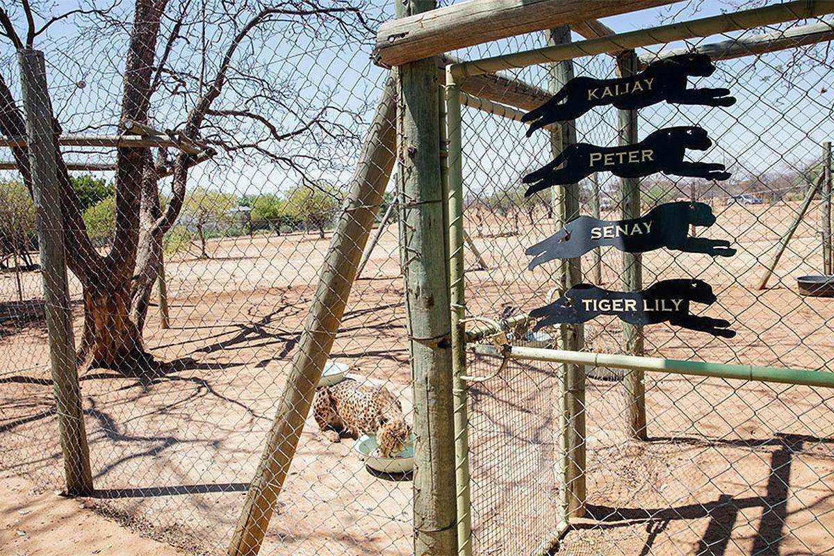 Cheetah feeding at the CCF