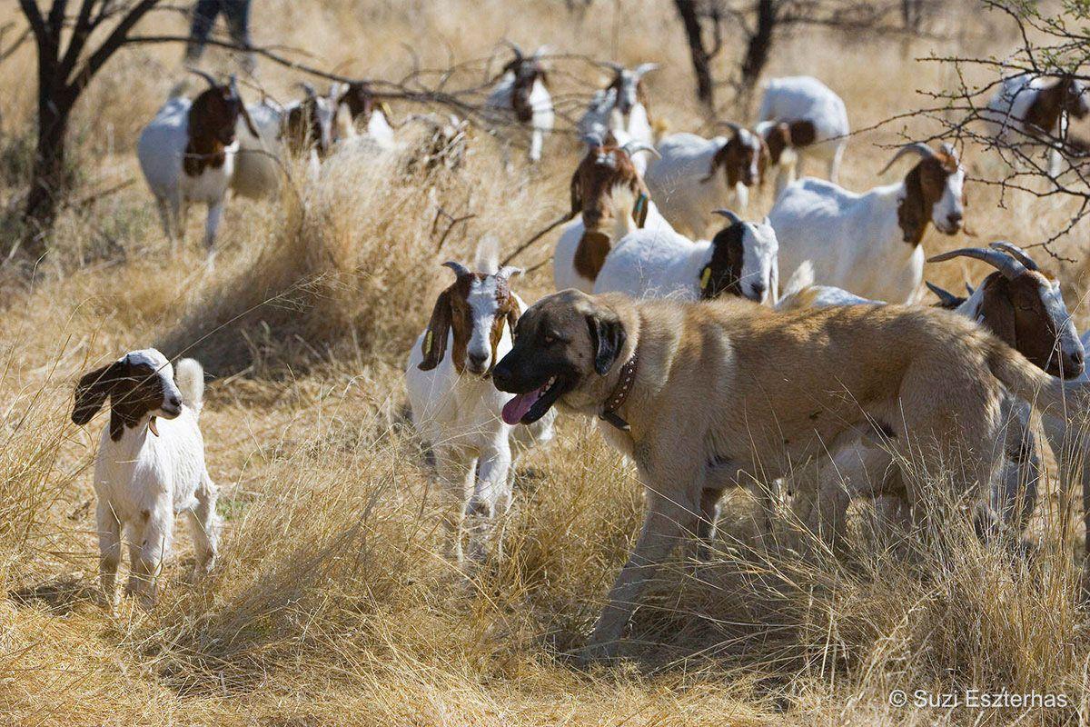 Goat farm and  Anatolian Shepherd