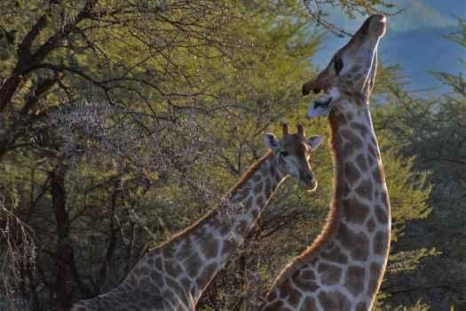 Giraffen auf der Gabus Game Ranch